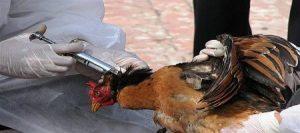 آنفلوانزای پرندگان