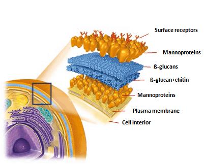 ساختار دیواره سلولی مخمر