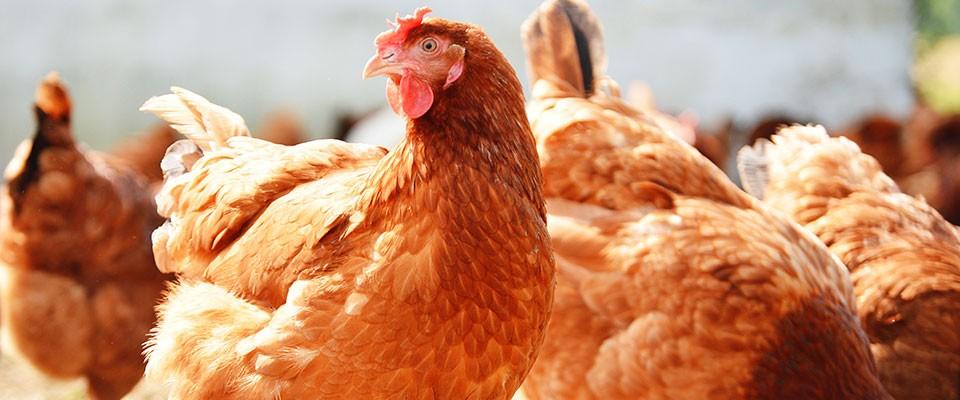 kimiazym-chicken-banner