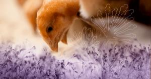 Mycotoxins-poultry-FB