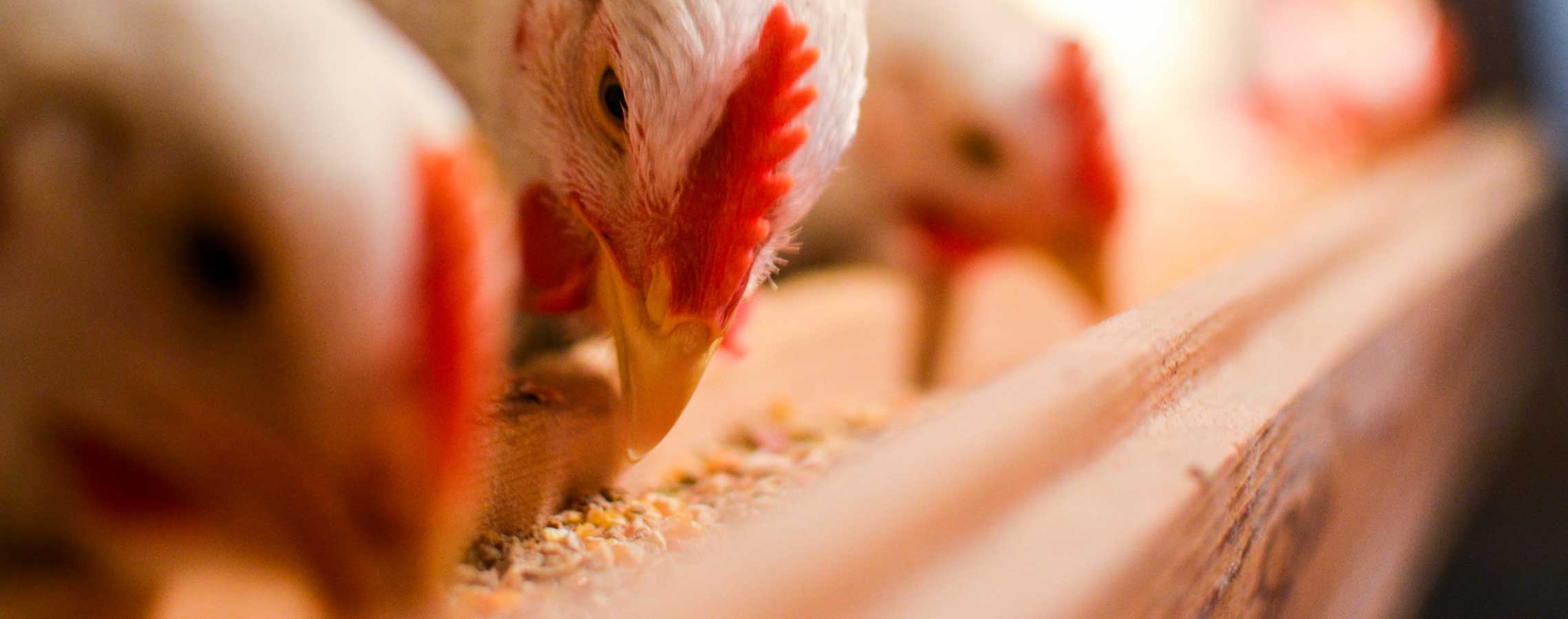 poultry-banner111
